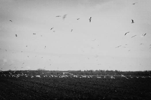 birds flying fields  Free Photo