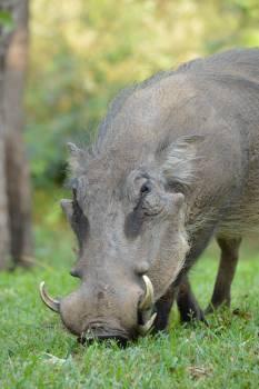 Warthog Swine Ungulate Free Photo
