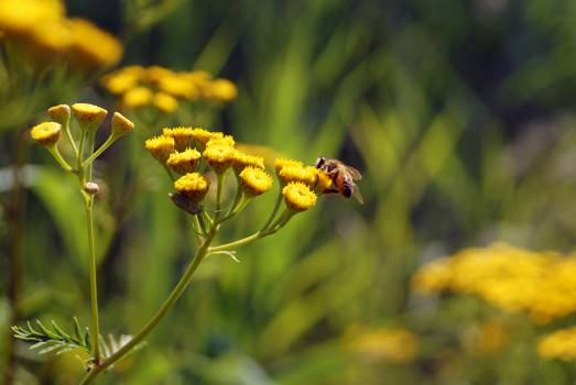 bumble bee insect nectar  #21539