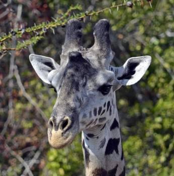 Giraffe Mammal Animal Free Photo
