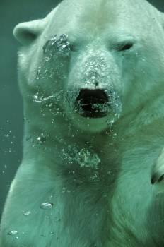 polar bear animal under water  #21657