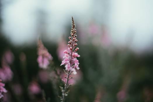 pink flowers plants  Free Photo