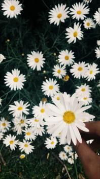 Flower Daisy Chamomile Free Photo
