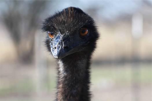 ostrich bird animal  #21721