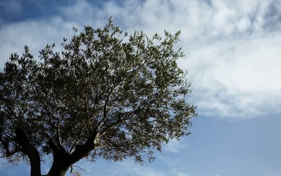 Tree Fir Pine Free Photo