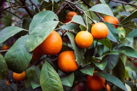Orange Citrus Fruit Free Photo