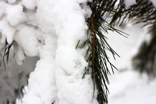 Snow Tree Ice #217707