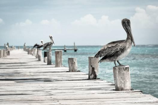 sky clouds pelican  Free Photo