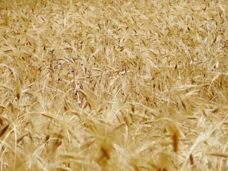 wheat plants crops  #21808