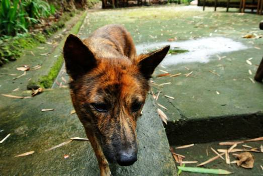 Shepherd dog Malinois Belgian sheepdog #218101