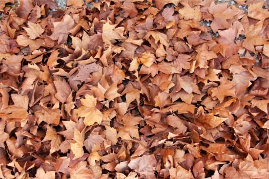 brown leaves  #21819