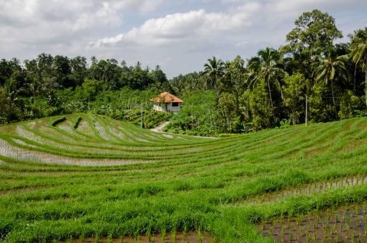 paddy field rice green  Free Photo