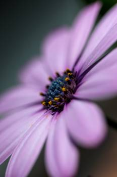 Purple Flower Petal Free Photo