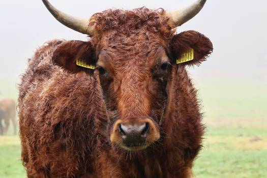 Cattle Beef Cow Free Photo