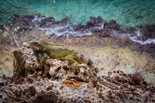 Lizard Common iguana Reptile Free Photo