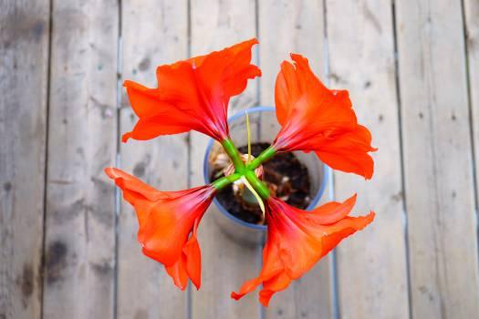 flower plant petals  Free Photo