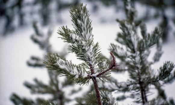 Fir Pine Tree #218865