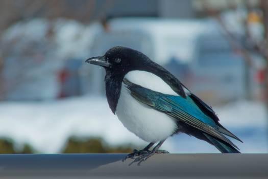 Magpie Bird Wildlife Free Photo