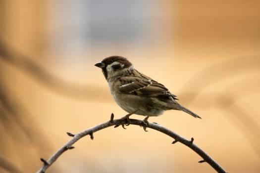 Sparrow Bird Wildlife Free Photo
