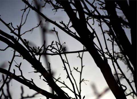 tree branches silhouette  Free Photo