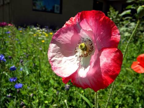 Ornamental Flower Bloom Free Photo