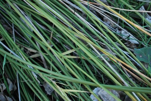 Grass Leaf Plant Free Photo