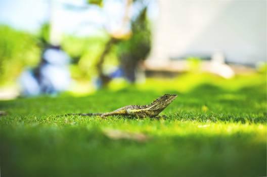 lizard grass  #22045