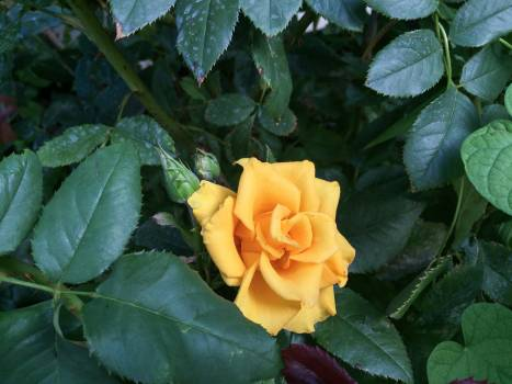 Rose Shrub Plant Free Photo