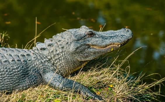 Alligator Reptile Crocodile Free Photo