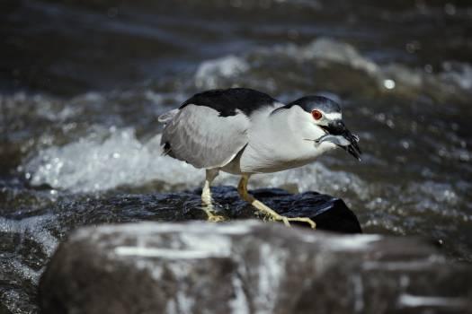 Auk Bird Seabird Free Photo