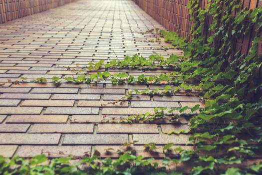cobblestones vines leaves  Free Photo