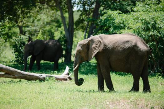 Elephant Mammal Tusker #221828