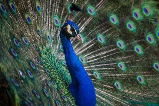 Peacock Peafowl Pheasant #221930