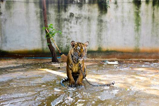 tiger animal chained  Free Photo