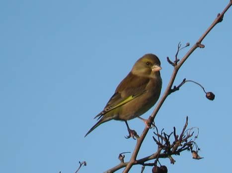 Bird Wing Finch #222063