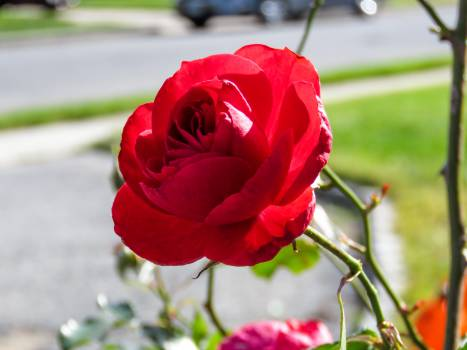 red rose flower  Free Photo