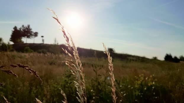 wheat plants fields  Free Photo
