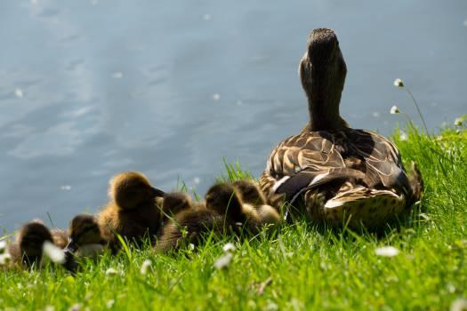 ducks ducklings birds  Free Photo