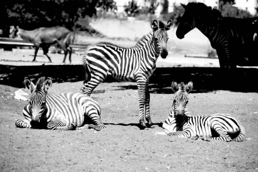 Equine Zebra Ungulate Free Photo