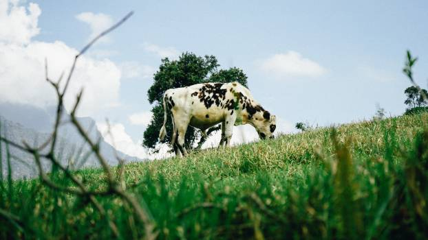 Cattle Grass Cow Free Photo