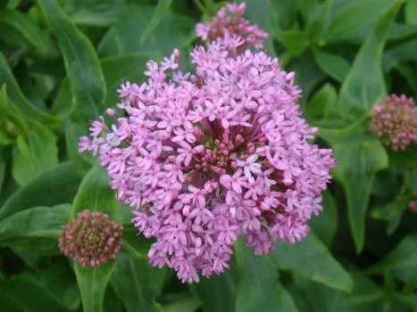 flower spring purple  Free Photo