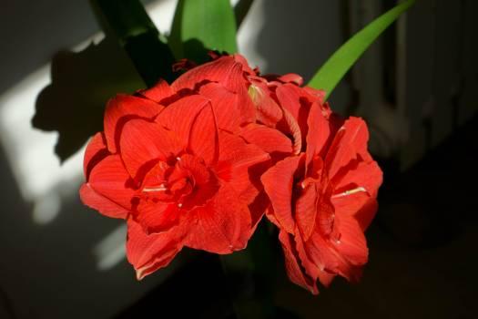Red Flower Petal #222890