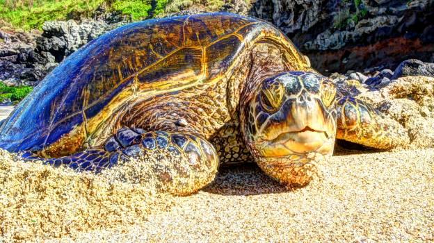 Turtle Sea turtle Reptile Free Photo