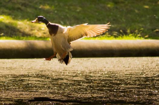 duck bird wings  Free Photo