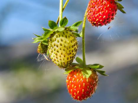 red strawberries plant  #22402