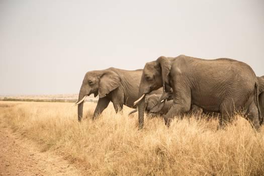 Elephant Mammal African elephant #224215
