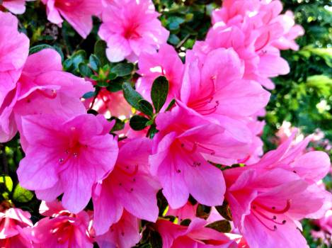 pink flowers garden  #22423