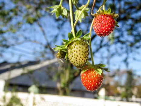 strawberries strawberry fruits  #22460