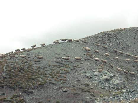 wild sheep animals  #22467