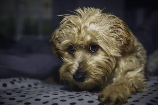 Miniature poodle Poodle Dog #224800